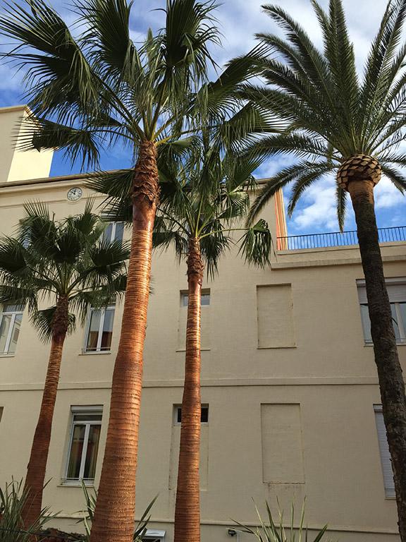 Abattage de palmier atteint charançon rouge sur nice