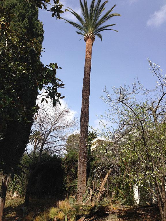 Taille de palmier ~ Travaux espaces verts Cannes Antibes Nice
